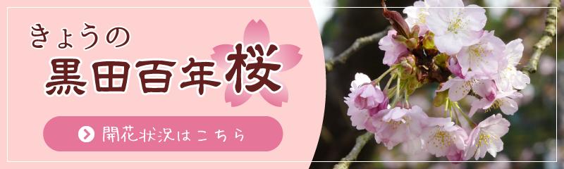 きょうの黒田百年桜